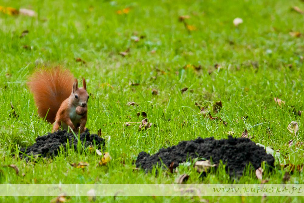 Wrześniowe wiewiórki w Parku Jordana, fot. Konrad Kubuśka