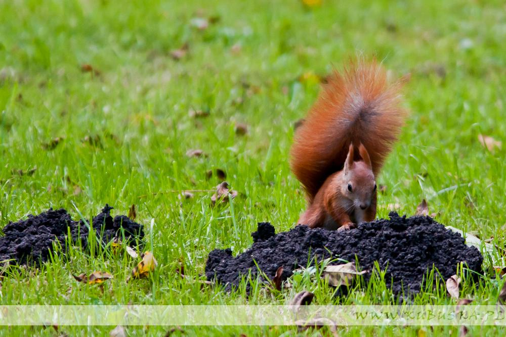 Wiewiórki w Parku Jordana, fot. Konrad Kubuśka