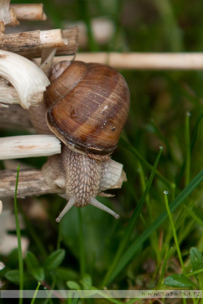 Ślimak winniczek, fot. Konrad Kubuśka
