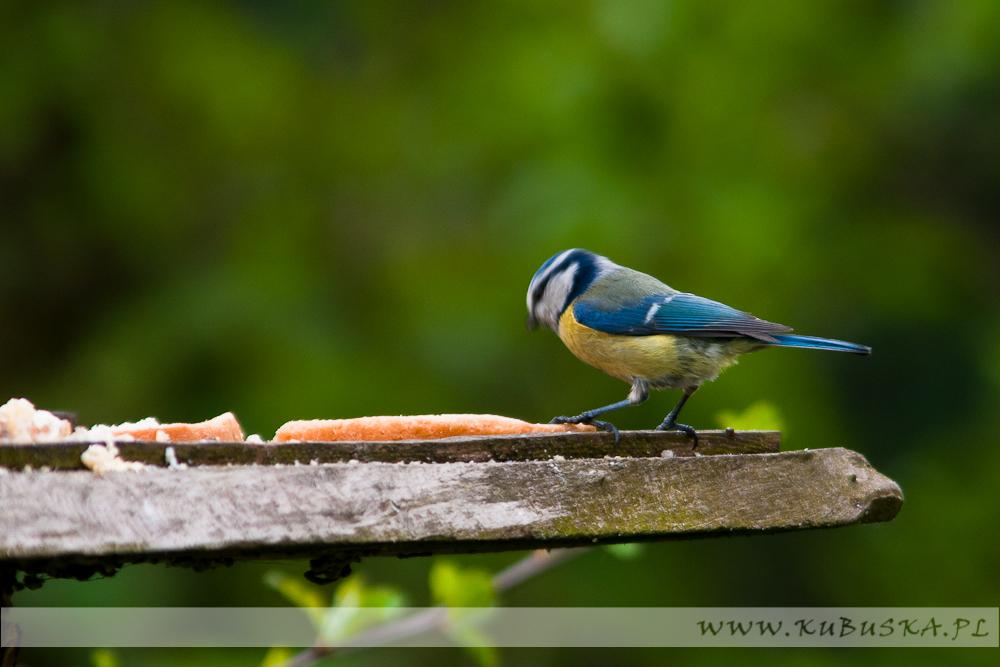 Sikorka modra, fot. Konrad Kubuśka
